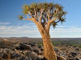 Quiver Tree Ruote